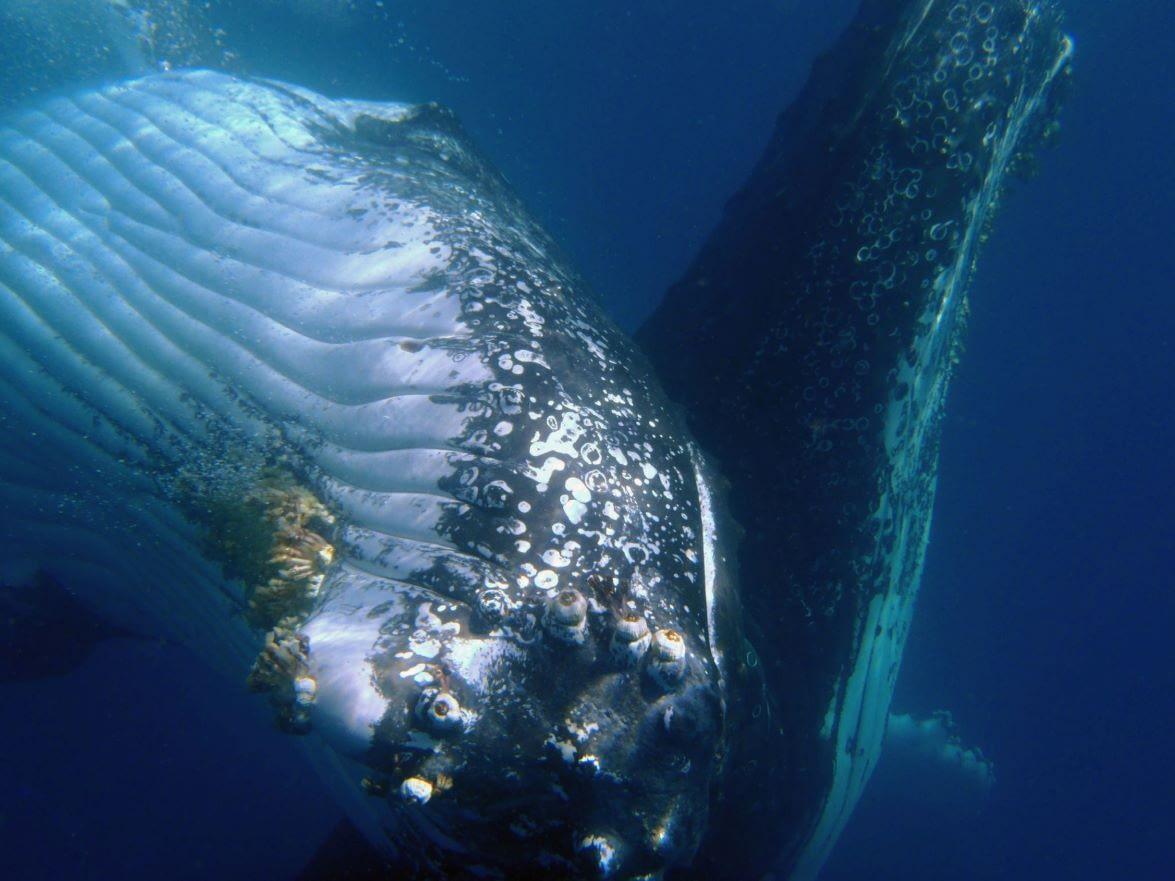 blue-dolphin-whale-underwater